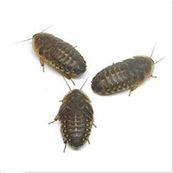 (生餌)デュビア(アルゼンチンモリゴキブリ) Mサイズ(30匹) 爬虫類 大型魚 餌 エサ