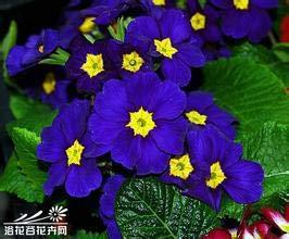 HONIC 100 Stück echte Nachtkerzen Europa Primel malacoides Farbe Bonsai Blume für Hausgarten supples Pflanzen mischen: Lila