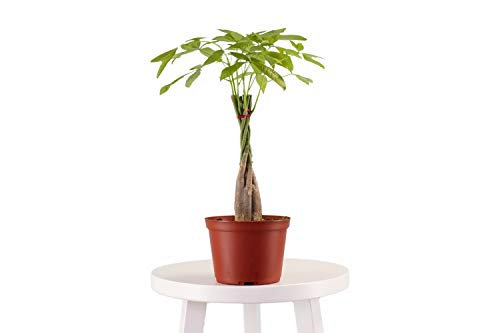 Leaf & Linen 6' Grow Pot, Live Indoor/Outdoor-Air Houseplant and Office Décor | Low Light Collection, 6 INCH, Money Tree' Pachira Aquatica