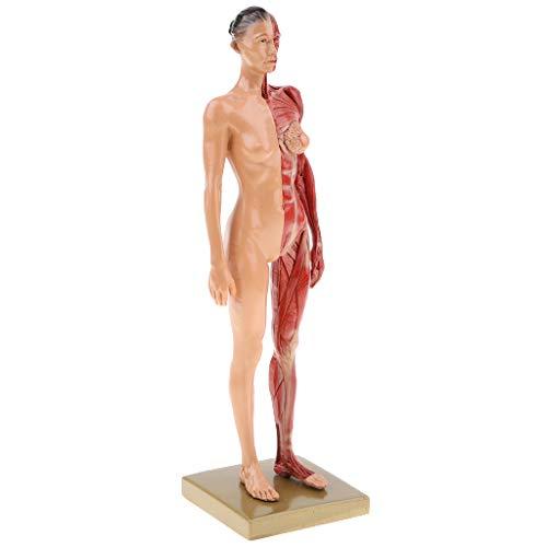 Modelo Anatómico Humano Figura Femenina Estructura Muscular Suministros de Laboratorio 30cm