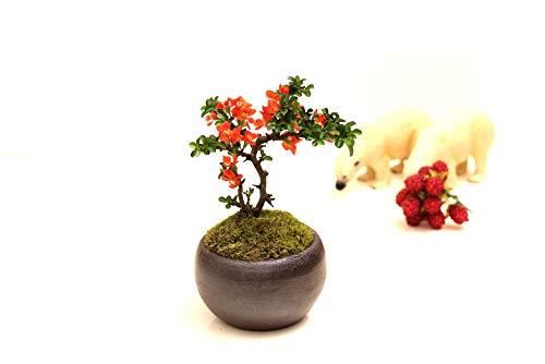 四季咲き長寿梅モダン盆栽 瀬戸焼鉢 チョウジュバイ 卓上盆栽ギフトプレゼントに