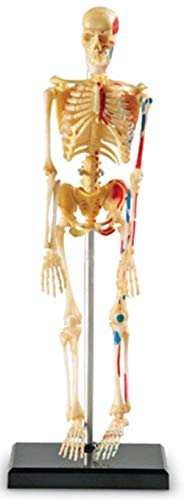 Menschliches Skeleton Modell durch Learning Resources