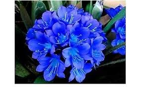 1 Stk Bonsai Blume Clivia Blume Kaffir Lily Echtsamen-DIY Garten immergrün Topfblume