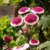 アスターポンポンのHi-NO-丸花の種子(エゾギクポンポン)50個の+種子(100+)