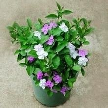 graines de fleurs en pot. 10 PC à double couleur des graines de jasmin. plantes intéressantes