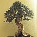 OLIVO europeo de frutas, Olea europaea, adecuados como bonsai 250 semillas