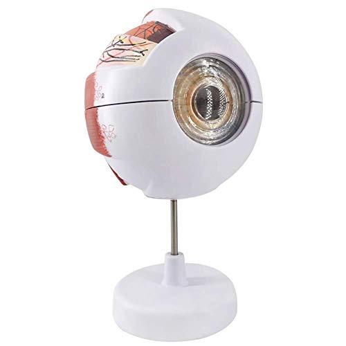 Simulierte anatomisches Modell 6X Eye Modell Scientific Augen-Anatomie-Modell deckt Cornea Iris Linse und Glaskörper 6 Teile for Medizinische Lehre Demonstration Menschliches Organ Modell