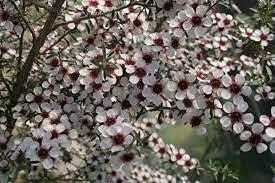 Dichondra 10 Manuka Tea Tree 5 ☆ popular Seeds Mesa Mall