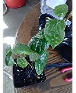 9EzTropical - Paan/Betel Leaf Vine - 1 Plants - 8