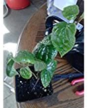 Best betel leaf vine Reviews