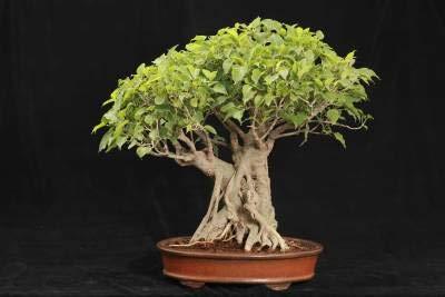 Sacred Fig Bonsai Tree Seeds - 25+ Seeds - Ficus Religiosa, Sacred Ficus Tree Seeds Ships from Iowa, Made in USA