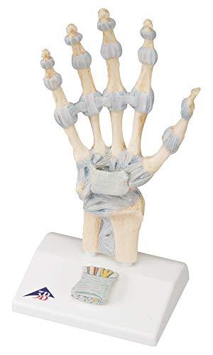 3B Scientific Menschliche Anatomie - Modell des Handskeletts mit Bändern und Karpaltunnel + kostenloser Anatomiesoftware - 3B Smart Anatomy