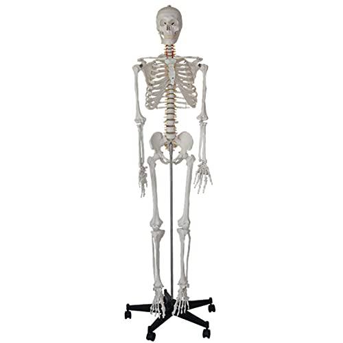 Modelo de esqueleto para el aula de ciencias, modelo de esqueleto de tamaño natural de 68.89 pulgadas, réplica médica con sistema nervioso y soporte giratorio ajustable para anatomía para estudio y