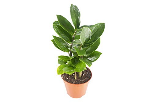 ZZ Plant (Zamioculcas Zamiifolia) - 4' from California Tropicals