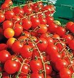 Tomato Plants - 'Sweet Million' - 6 x Plug Plant Pack