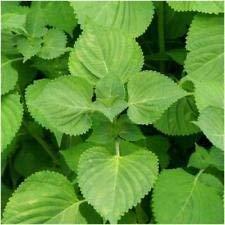 VISA STORE Paquete de 300 Semillas, Verde Shiso Semillas (Perilla)