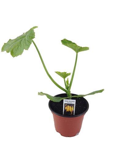 Zucchini Pflanze gelb (Cucurbita pepo), Aus Nachhaltigem Anbau !