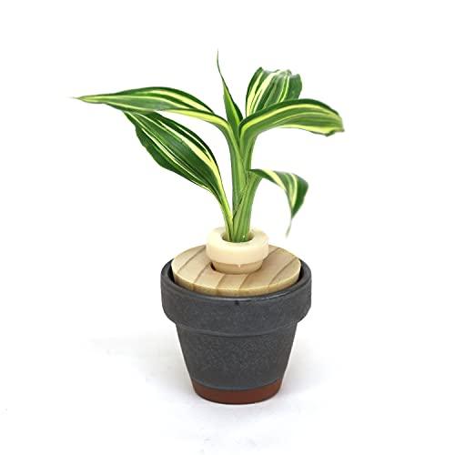 人気の観葉植物 「幸福の木 ドラセナ・サンデリアーナ・ビクトリー」と「うさぎ庵特性 豆鉢 鉄黒色」【土なし 清潔 水やり簡単 セラハイト】