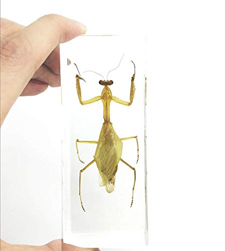 Praying Mantis(Mantis)(rearhorse) Paperweight Specimen Science Education Specimens(4.4x1.6x1.1