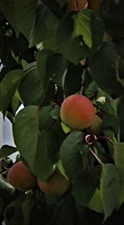 1 Hardy Apricot Tree 6 inches bareroot Tree