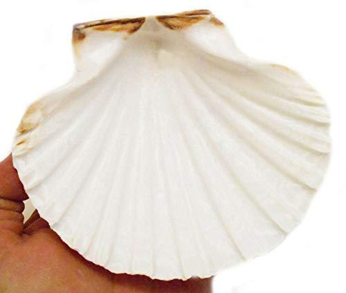 2 XX-Large Irish Baking Scallop Shells (5-6