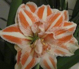 50 pcs / sac, graines Amaryllis, graines en pot, graines de fleurs, variété complète, le taux de 95% en herbe, (couleurs mélangées)