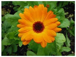 Seeds Calendula Gialla//Arancione 500 Semi Calendula Officinalis