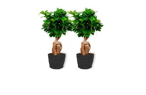Ficus Ginseng – higo chino – Bonsái de interior en bolsa negra – Altura +/- 25 cm incluida maceta – 12 cm de diámetro – Fácil cuidado Bonsái Palme
