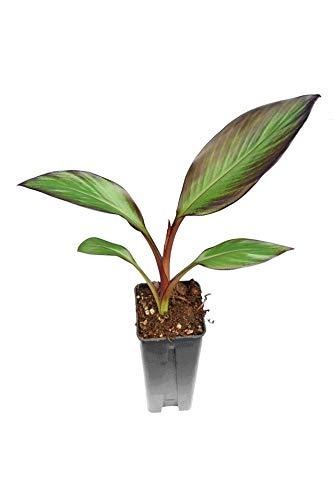 Zimmerpflanze - Ensete maurelli - Seltene Rote Zierbanane - Gesamthöhe 40+ cm - Topf 0,7 Ltr (1)