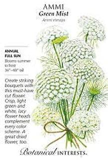 Green Mist Ammi Seeds - 100 Mg by AchmadAnam