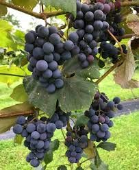 1 Concord Seedless Live Grape Plant - 1-2 Year Old - Pruned & Ready...