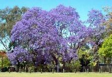 jacaranda, flamboyant bleu, arbre de fleurs bleues, 10 graines! Groco