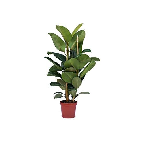 Verdecora - Ficus Robusta Maceta 4 Litros - Altura Aprox. 95-105cm - Planta Viva de Interior