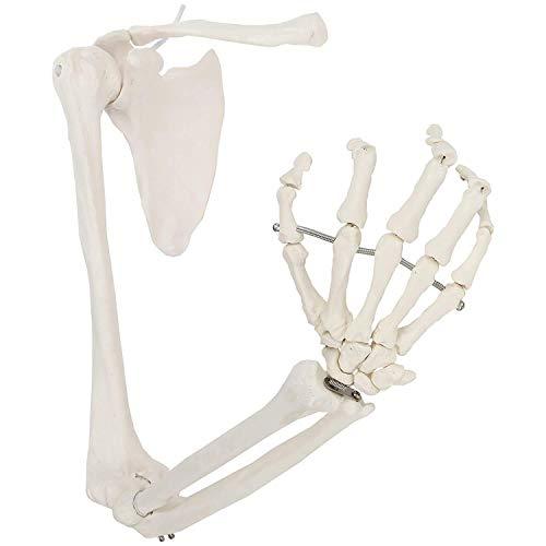 NOSSON Lebensgroßer anatomischer Arm, menschliches Skelettarmmodell Beinhaltet alle Armknochen sowie Schlüsselbein, Schulterblatt und artikulierten Handknochen für die Schule