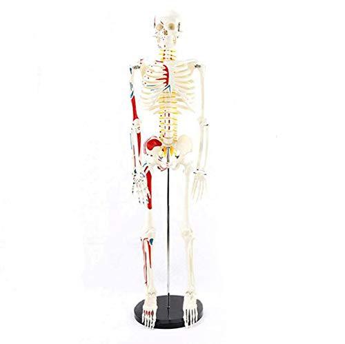 85Cm-Des Menschlichen Körpers Mini-Skelett Modell Mit Muskelbemalung Anatomisches Modell,Bau Und Bewegung Des Körpers Als Lernmodell Oder Lehrmittel,Natural