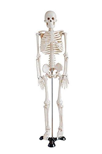 Display4top Anatomie Skelett lebensgroß inklusive Ständer + Haube + Poster- Medizinische Ausbildungshilfe (85cm)