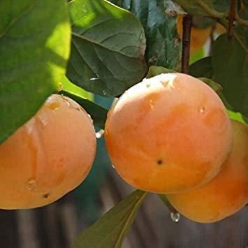 Potseed Semillas de Frutas Diospyros Kaki - Sharon Fruit/japonés Caqui Semillas de Plantas de jardín decoración del envío 30pcs Z61