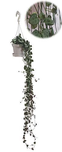 Leuchterblume, hängend, (Ceropegia woodii ssp. woodii), sehr pflegeleichte, hängende Zimmerpflanze (im 11cm Topf)
