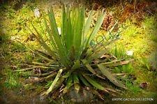 vegherb Seltener Agave Filifera Schidigera Gewinde-Blatt Sukkulente Aloe Pflanzensamen - 15 Samen