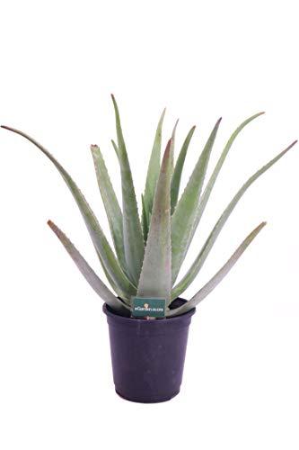 Pianta di Aloe Vera Barbadensis Età 4 Anni pianta di Aloe Ornamentale pianta di Aloe biologica pianta di Aloe in vaso pianta vera di Aloe Vera Barbadensis venduta da eGarden.store