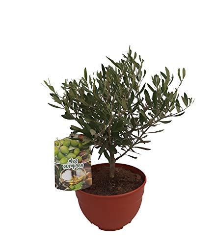 - PePePlant - Olivo JUNIOR (olea europea) Árbol frutal. Perfecto para huerto urbano, prebonsai, bonsai o para plantar en exterior en jardín. Vivero especializado en plantas del mediterráneo