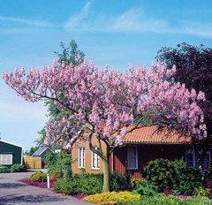 100 PCS arbre rea Paulownia graines d'arbres de princesse ou arbre impératrice rares pourpre graines d'arbres de fleurs de couleur pour la décoration maison de jardin