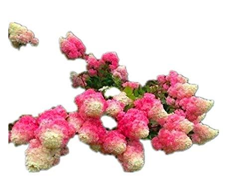 KINGDUO 20Pcs Hortensia Graines Vanille Fraise Graines De Fleurs pour Extérieur Maison Plantation Bonsaïs-Rouge