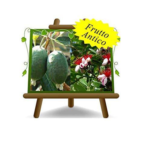 Feijoa Innestata Autofertile – Pianta da frutto antico su vaso da 20 - albvero max 60 cm - 2 anni