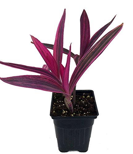 Variegated Purple Heart Plant - Setcreasea - Indoors or Out - Easy - 4' Pot