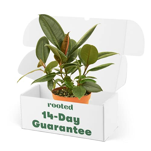 Rubber Tree 'Burgundy' - Ficus elastica   Live, Easy to Grow and Low Maintenance Houseplant (4-inch Pot)
