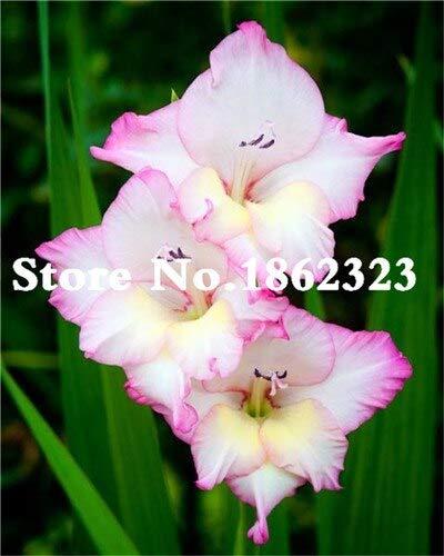 Kalash New 120pcs Gladiolen Blumensamen für Garten Weiß Rosa