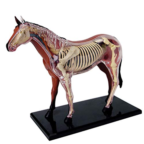 N \ A Modelo Anatómico De Órganos De Animales De Caballo, Modelo De Enseñanza Visual 4D De La Estructura Interna del Caballo Médico, Biología Aprenda sobre Las Partes del Caballo (26 Componentes)