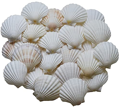 Scallop Shells for Cooking, Baking or Crafts, 2 inch to 5 inch, Natural Seashell (4 inch - 5 inch, 4)