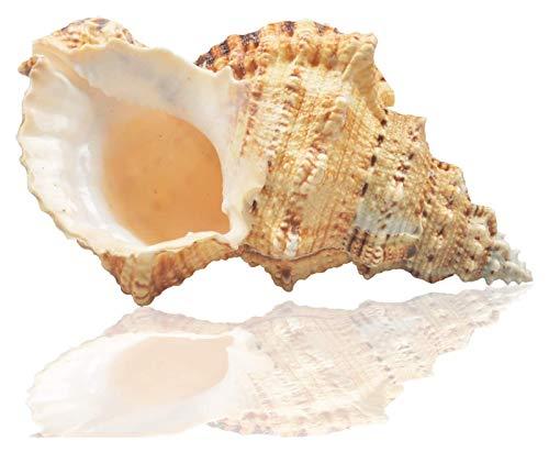 Beapet Grandes Conchas Naturales de mar, Conchas, Enorme Conch de Ocean 18-20 cm Jumbo Seashells decoración de Boda Playa Partido Tema, Decoraciones para el hogar, Artesanías de Bricolaje, Tanqu